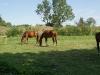 Koně na Fortu